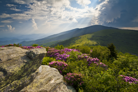 Rhododendrons in bloom off the Appalachian Trail near Roan Mountain