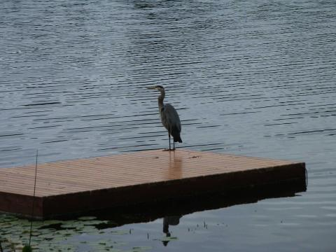 Blue heron on wharf